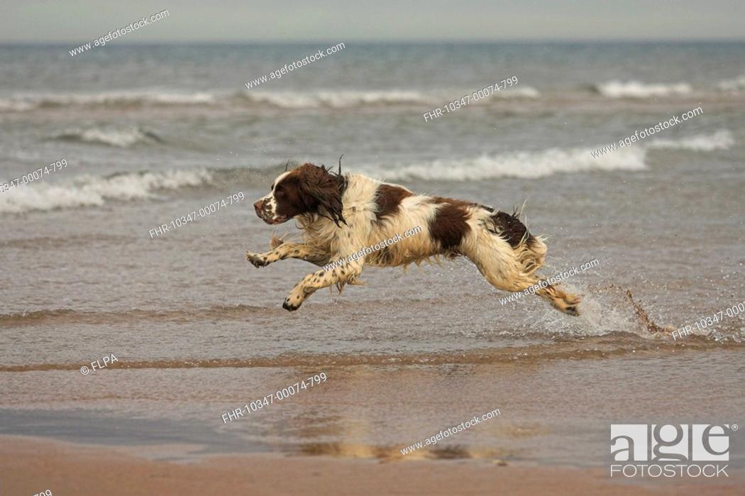 Imagen: Domestic Dog, English Springer Spaniel, adult, running in sea, Cheswick, Northumberland, England.