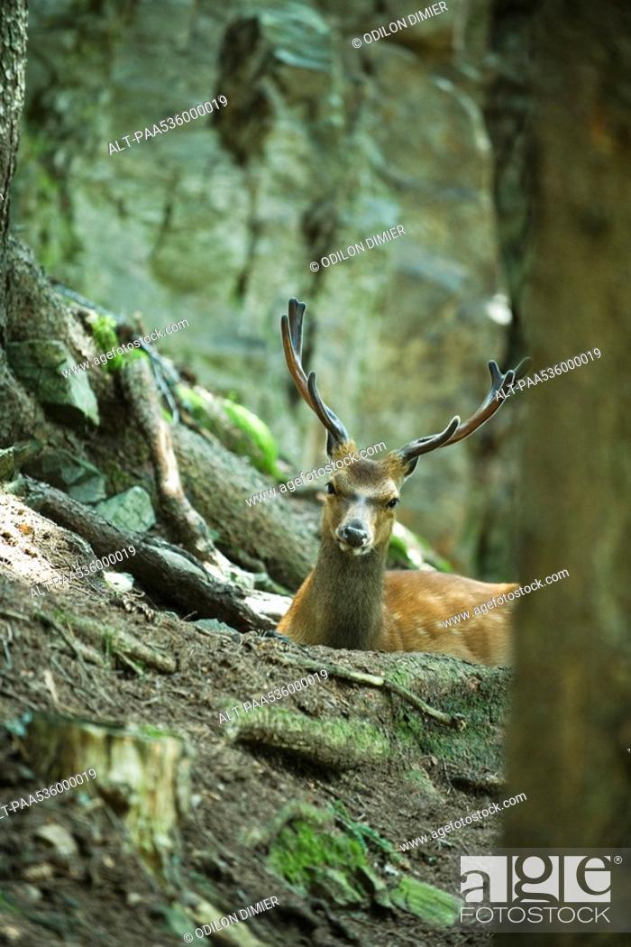 Stock Photo: Buck looking over tree roots.