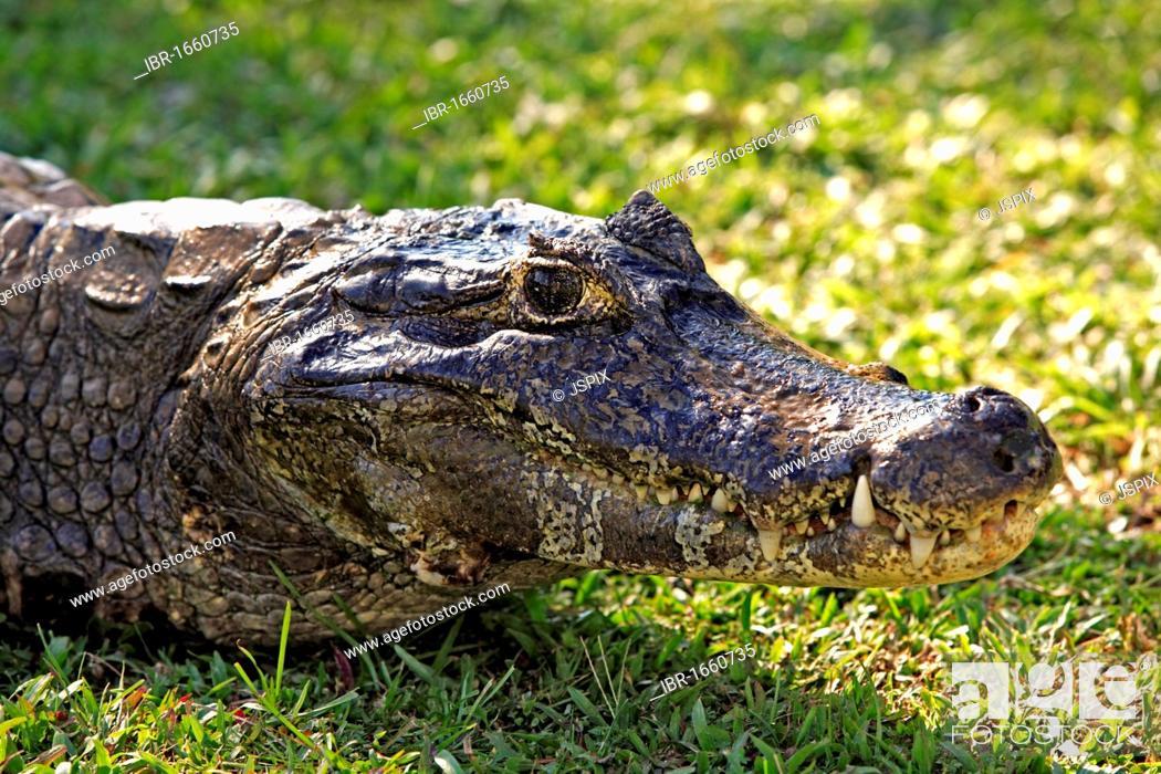 Stock Photo: Yacare Caiman (Caiman yacare), portrait, adult on land, Pantanal, Brazil, South America.