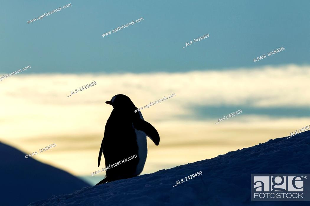 Stock Photo: Antarctica, Anvers Island, Silhouette of Gentoo Penguin (Pygoscelis papua) standing at dusk in rookery near Port Lockroy.