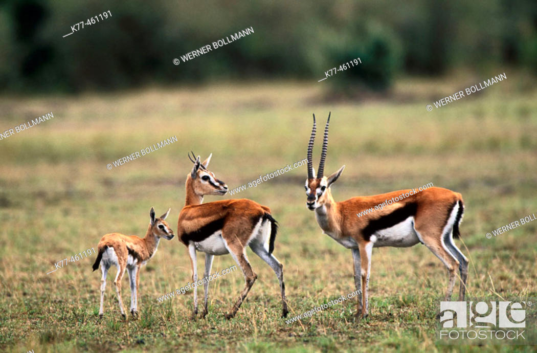 Thomson's Gazelle (Gazella thomsoni); male, female and ...