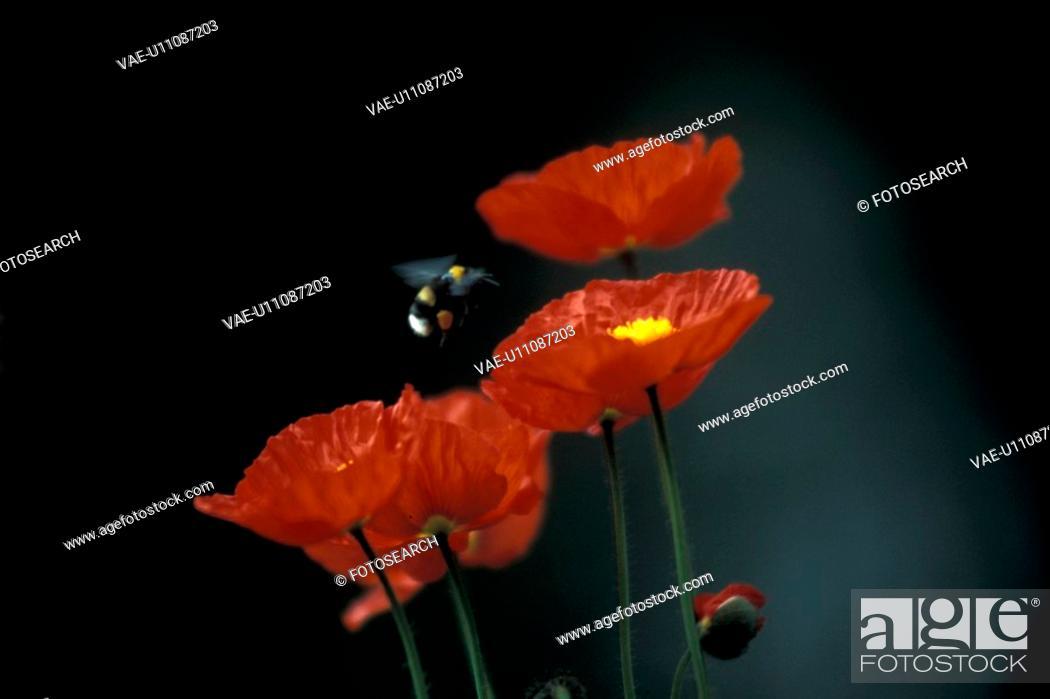 Stock Photo: blooms, bee, bloom, black, Bernhard, abloom.