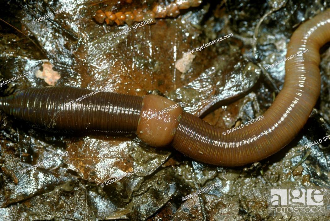 Earthworm Showing Clitellum Lumbricus Terrestris Ithaca Ny