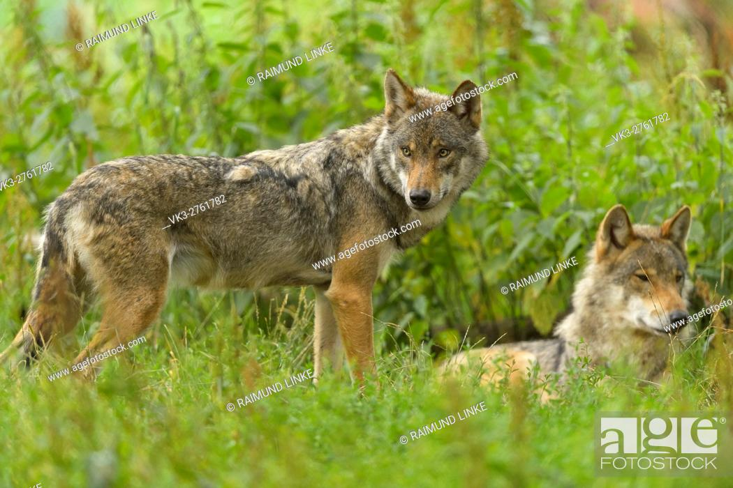 Stock Photo: European Gray Wolf, Canis lupus lupus, two Wolves, Germany.