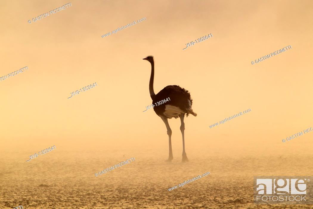 Stock Photo: Common ostrich Struthio camelus, in the storm, Kgalagadi Transfrontier Park, Kalahari desert, South Africa.