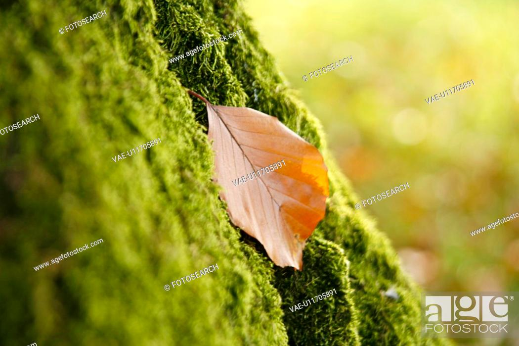 Stock Photo: CLOSE, autumn, bryophyta, brown, beige, alfred.