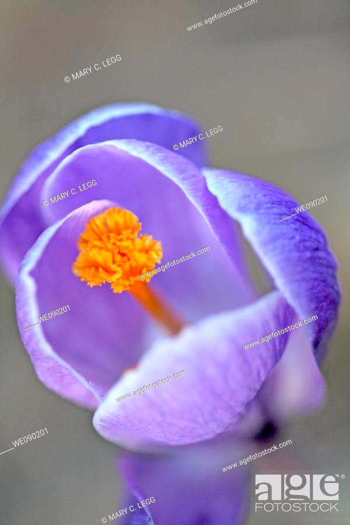 Stock Photo: Lilac crocus against a wall in early spring garden in evening shadows.