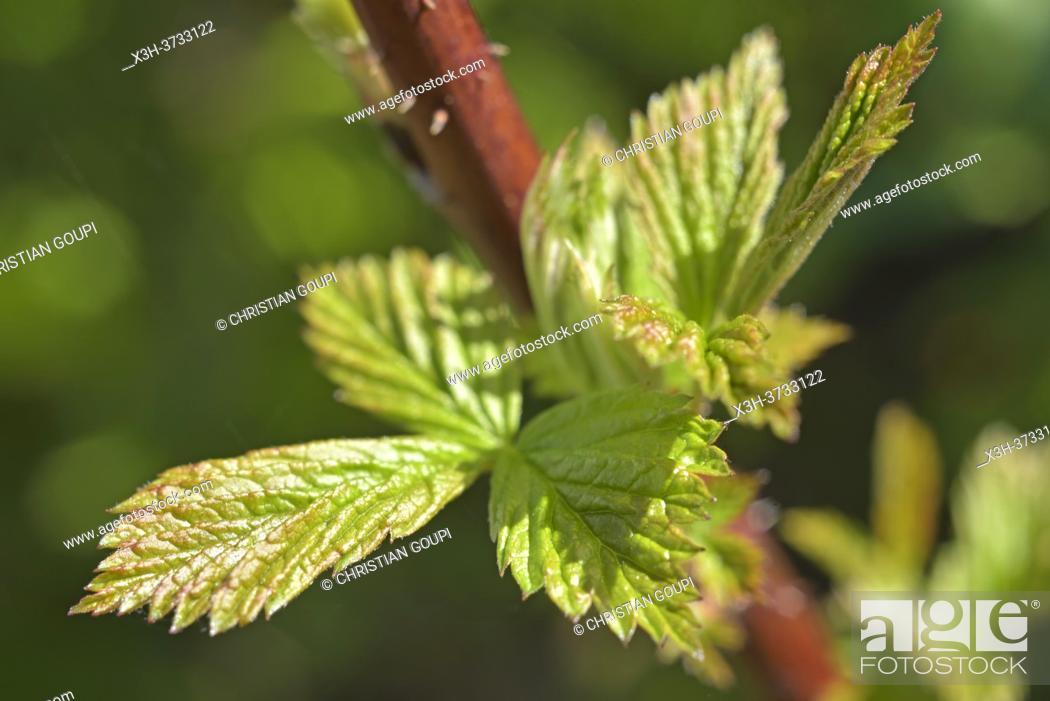 Stock Photo: Young leaves of red raspberry plant, Eure-et-Loir department, Centre-Val-de-Loire region, France, Europe.