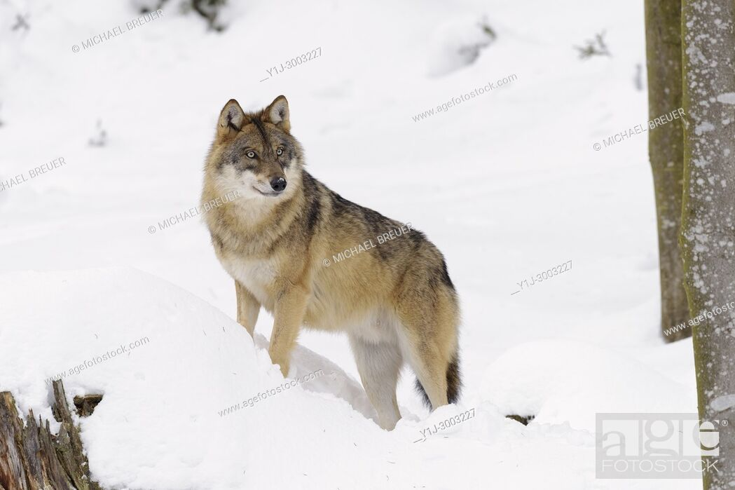 Stock Photo: Grey Wolf, Canis lupus, Bavarian Forest National Park, Germany, Europe.