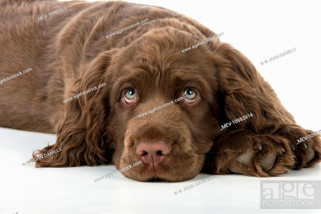 Dog 14 Week Old Sussex Spaniel Puppy Stock Photo Picture And