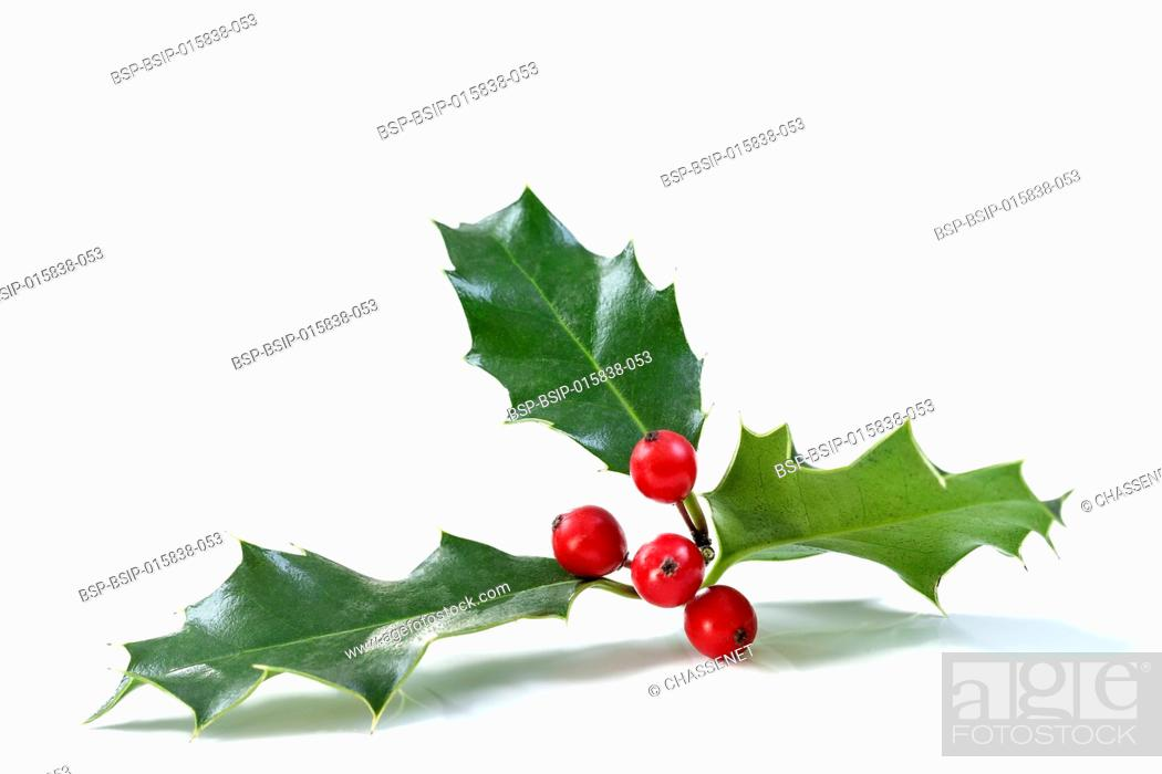 Stock Photo: Christmas Holly With Red Berries. Traditional festive decoration. Holly branch with red berries on white.