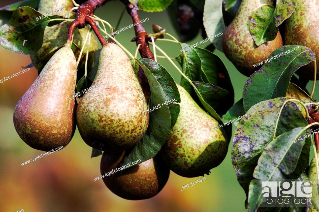 Stock Photo: Pears growing on a branch in neighbour's garden - Bavaria/Germany.