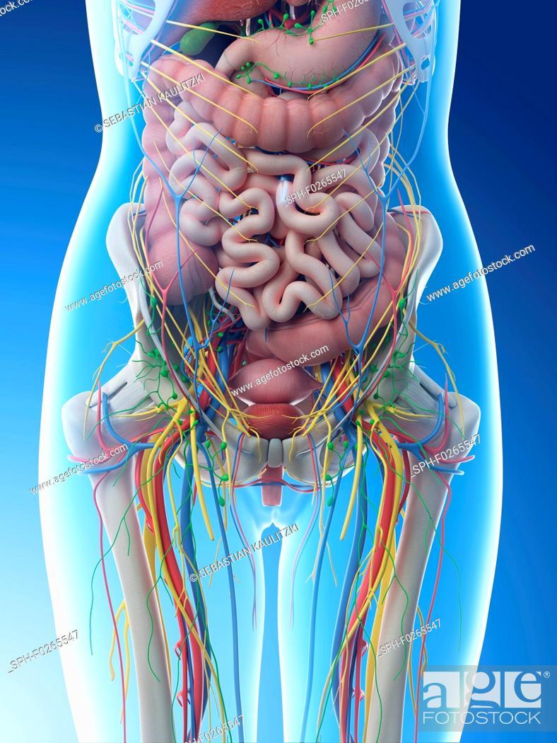 Female Abdominal Anatomy Computer Illustration Stock Photo