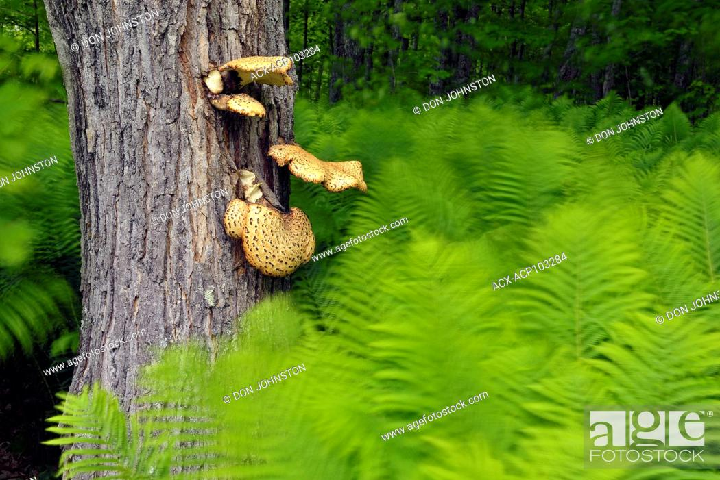 Stock Photo: Ostrich Fern (Matteuccia struthiopteris) surrounding a maple tree with Dryad's saddle (Polyporus squamosus) fungus, Pictured Rocks National Lakeshore.