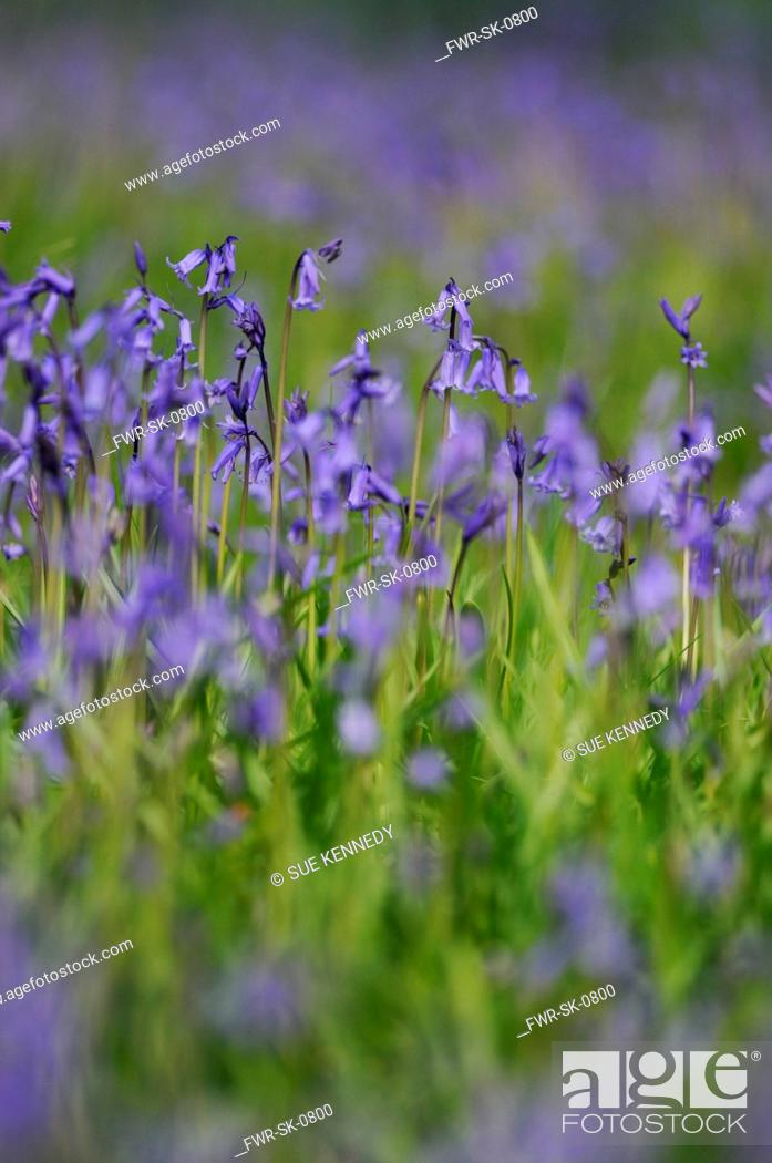 Stock Photo: Hyacinthoides non-scripta, Bluebell, English bluebell, Blue subject.