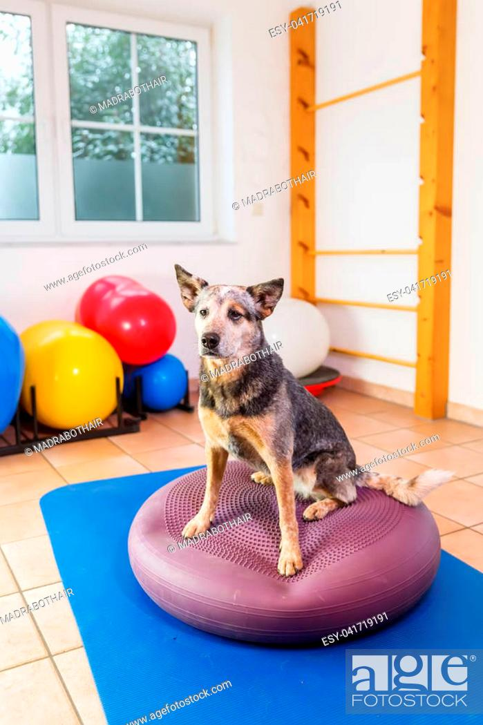 Stock Photo: picture of a Australian Cattledog who stands on a training device in an physiotherapy office.