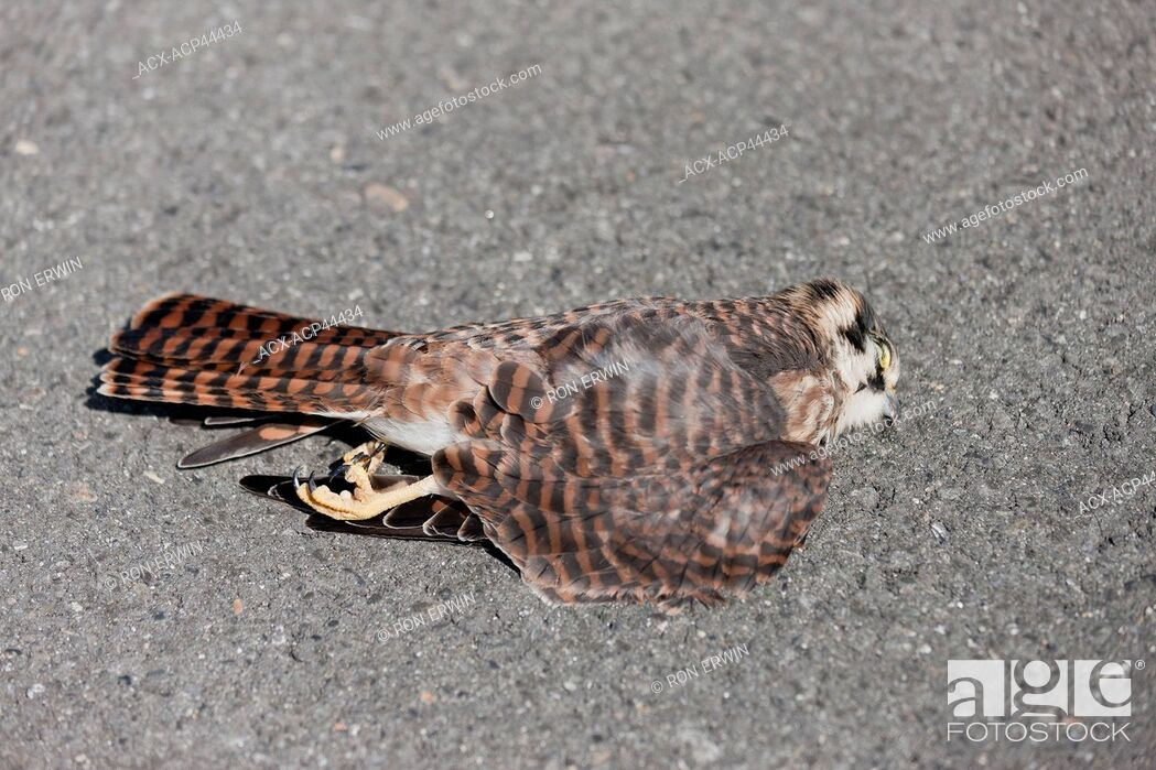 Stock Photo: Dead American Kestrel Falco sparverius laying on the road, Kluane National Park, Yukon Territory, Canada.