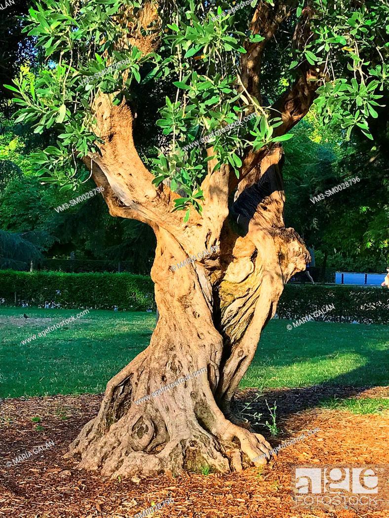 Stock Photo: Olive tree trunk.