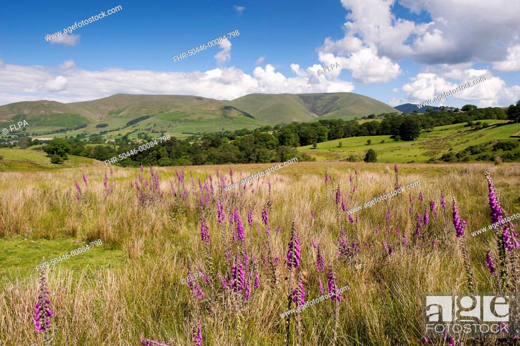 Stock Photo: Common Foxglove (Digitalis purpurea) flowering, growing in upland pasture, with fells in background, Eastern Howgill Fells, near Sedbergh, Cumbria, England.