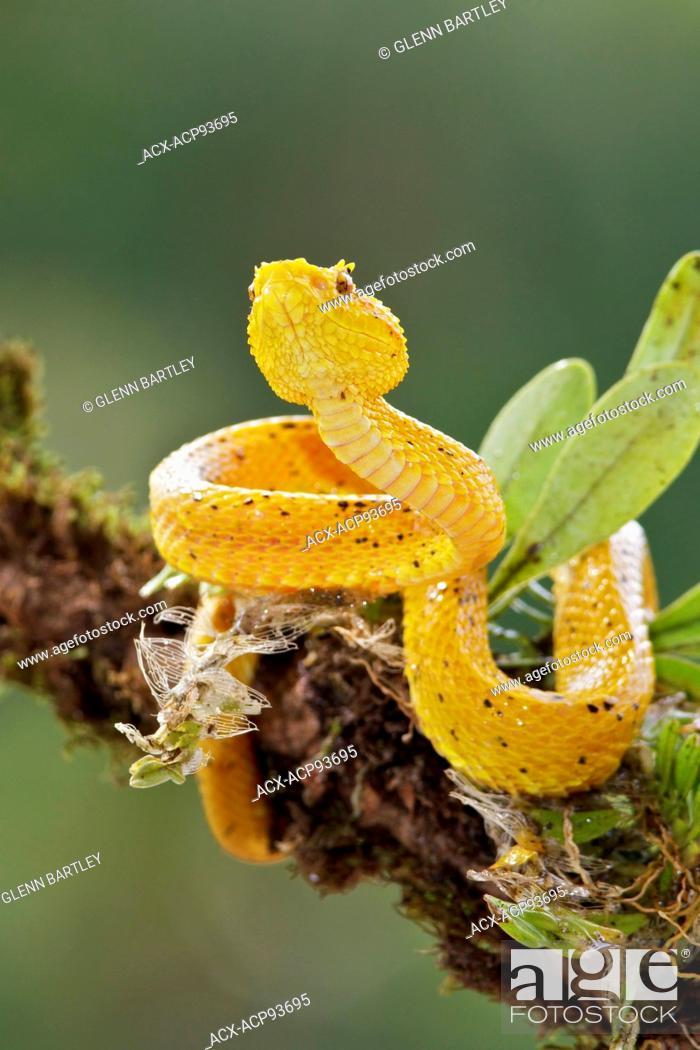 Stock Photo: Eyelash Viper perched on a branch in Costa Rica, Central America.