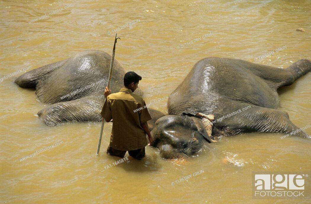 Stock Photo: Asian elephants elephas maximus bathing with mahout in Maha Oya river, Pinnawela Orphanage, Kegalle near Kandy, Sri Lanka.