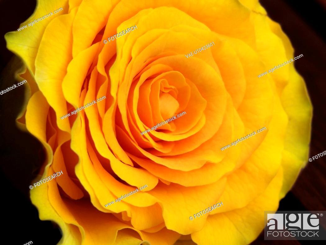 Stock Photo: blooms, bright, dark, edelrosen, flora, flowers, focus.