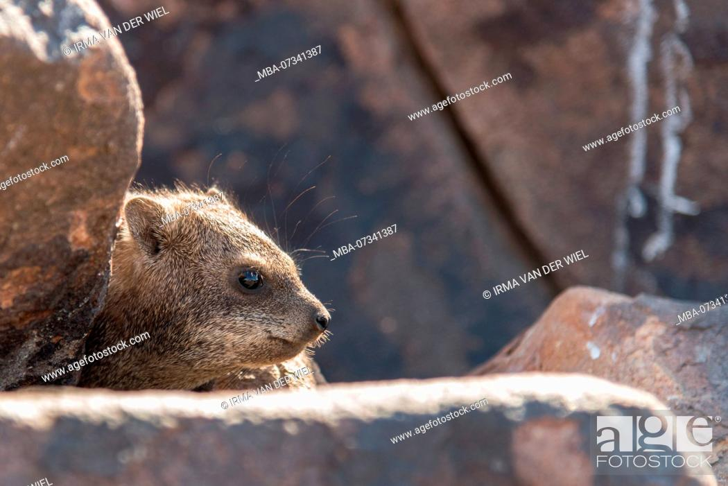 Stock Photo: Rock hyrax in Namibia, Quiver tree forest.