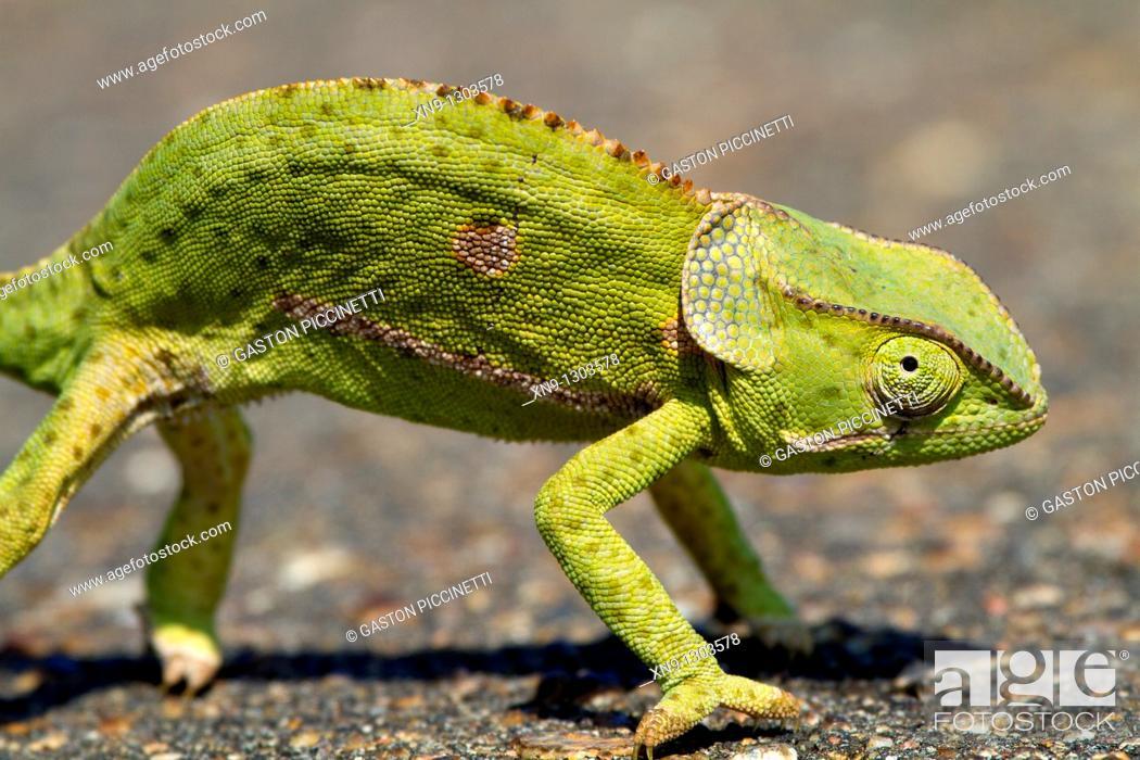Stock Photo: Common chameleon Chamaleo chamaeleon, Kruger National Park, South Africa.