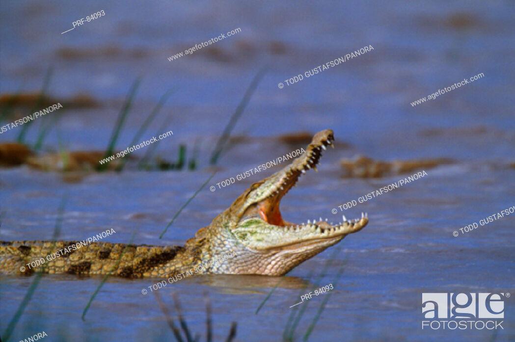 Stock Photo: Nile Crocodile Kenya Africa.