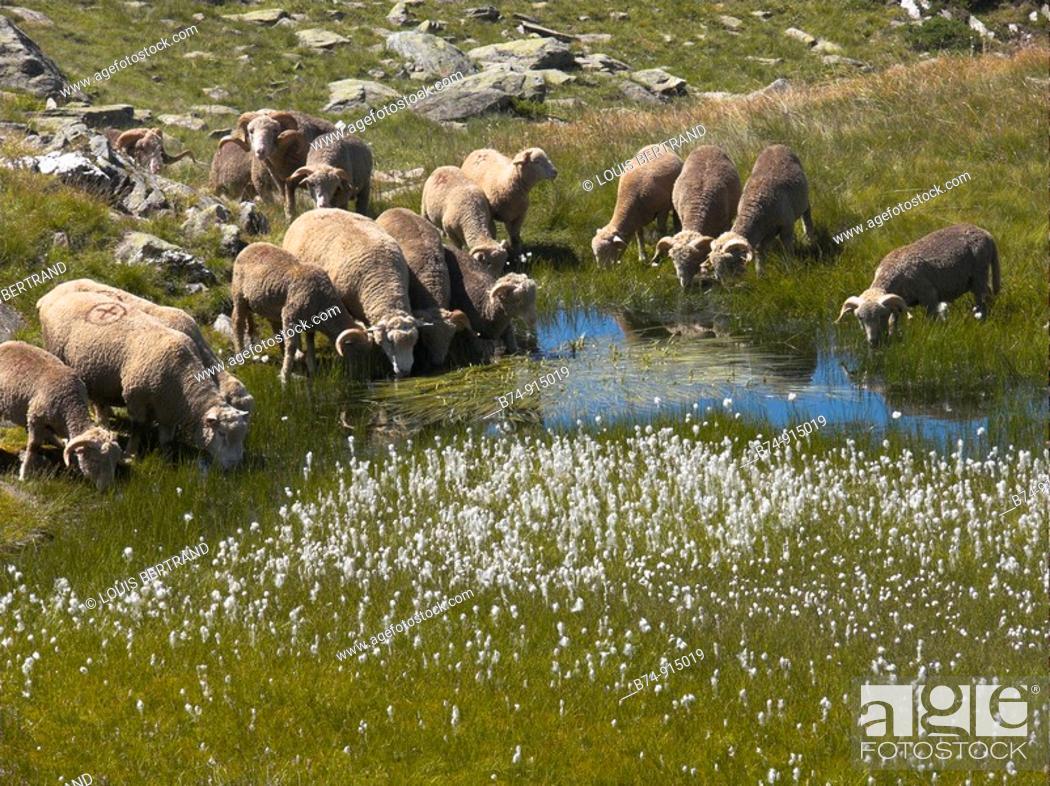 Stock Photo: Sheep, Col de la Croix de Fer, Savoie, France.