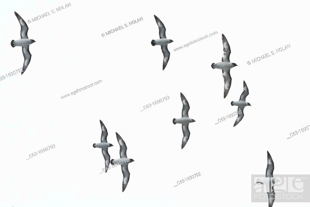 Stock Photo: Adult cape petrels Daption capense in flight near Deception Island, Antarctica, Southern Ocean.