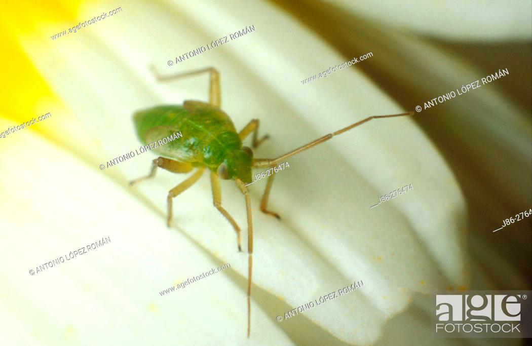 Stock Photo: Nymph of bug (fam. Miridae).