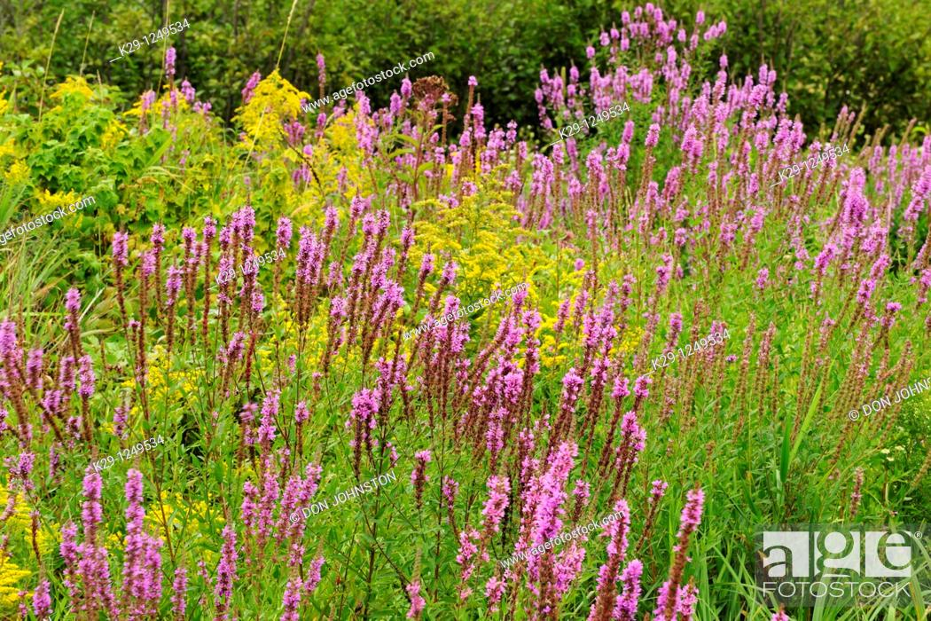 Stock Photo: Purple loosestrife Lythrum salicaria infesting a wetland with Canada Goldenrod Solidago canadensis.