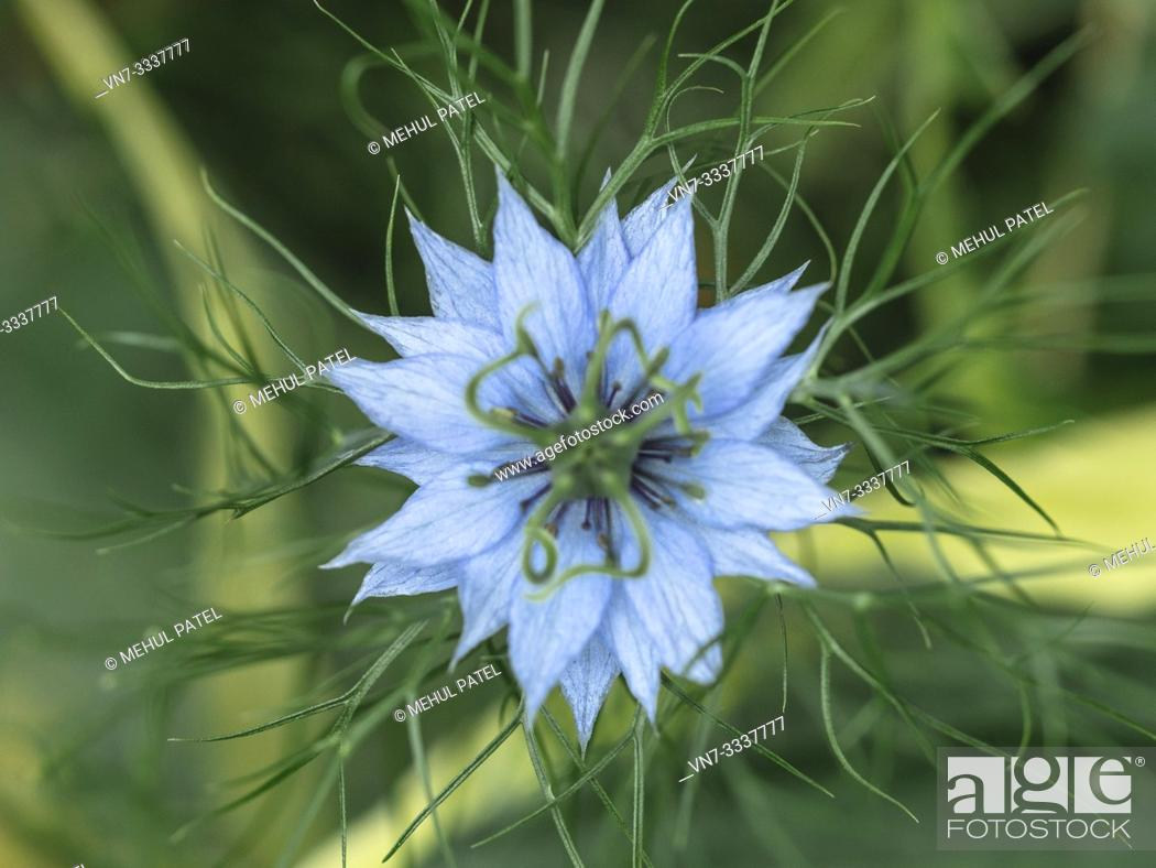 Stock Photo: Close up of Nigella Damascena (Love in a mist) flower viewed from above.