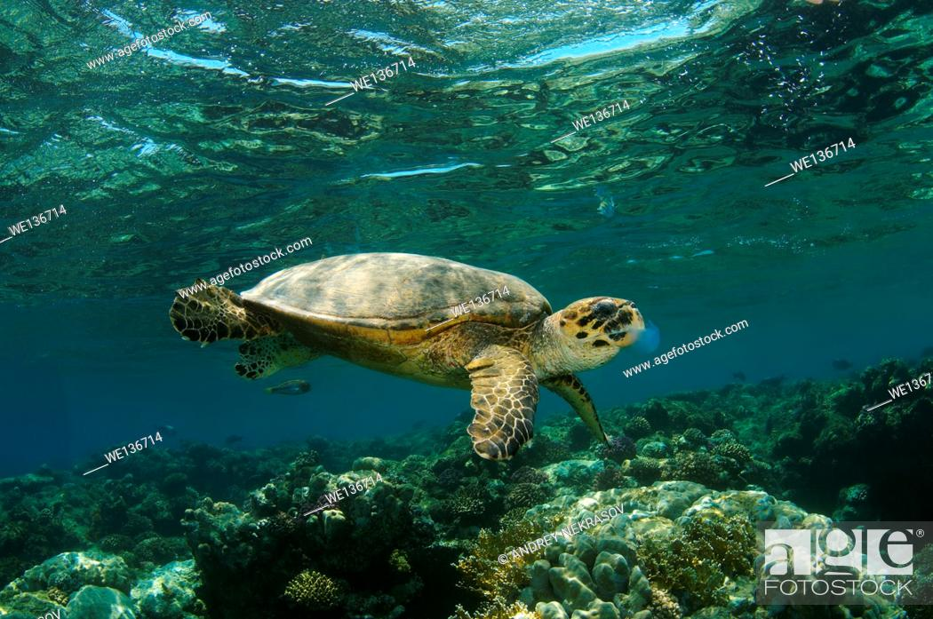 Stock Photo: hawksbill sea turtle (Eretmochelys imbricata) eating jellyfish, Red sea, Abu Dabab, Marsa Alam, Egypt.