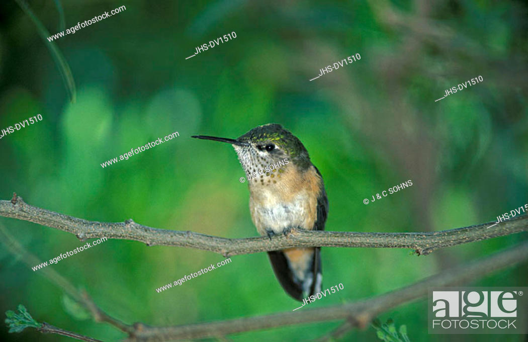 Stock Photo: Calliope-Hummingbird Stellula calliope Sonora Desert Arizona USA.