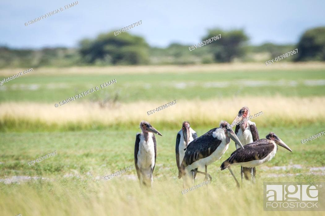 Stock Photo: Group of Marabou storks in the high grass in the Central Kalahari, Botswana.