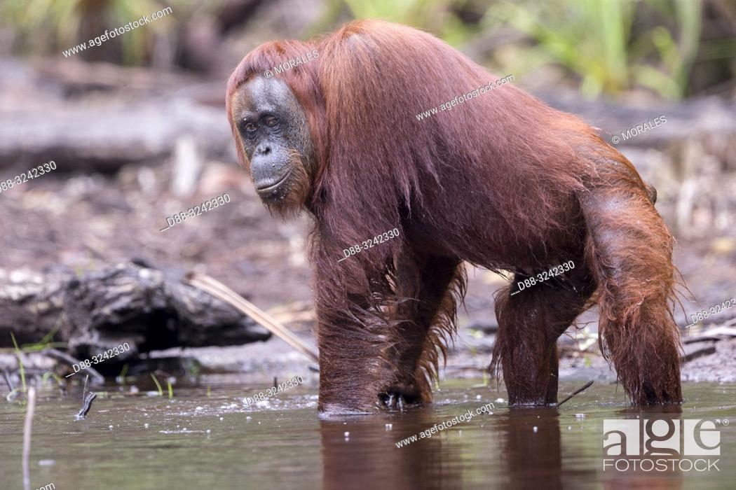 Stock Photo: Asia, Indonesia, Borneo, Tanjung Puting National Park, Bornean orangutan (Pongo pygmaeus pygmaeus), adult male near by the water of Sekonyer river.