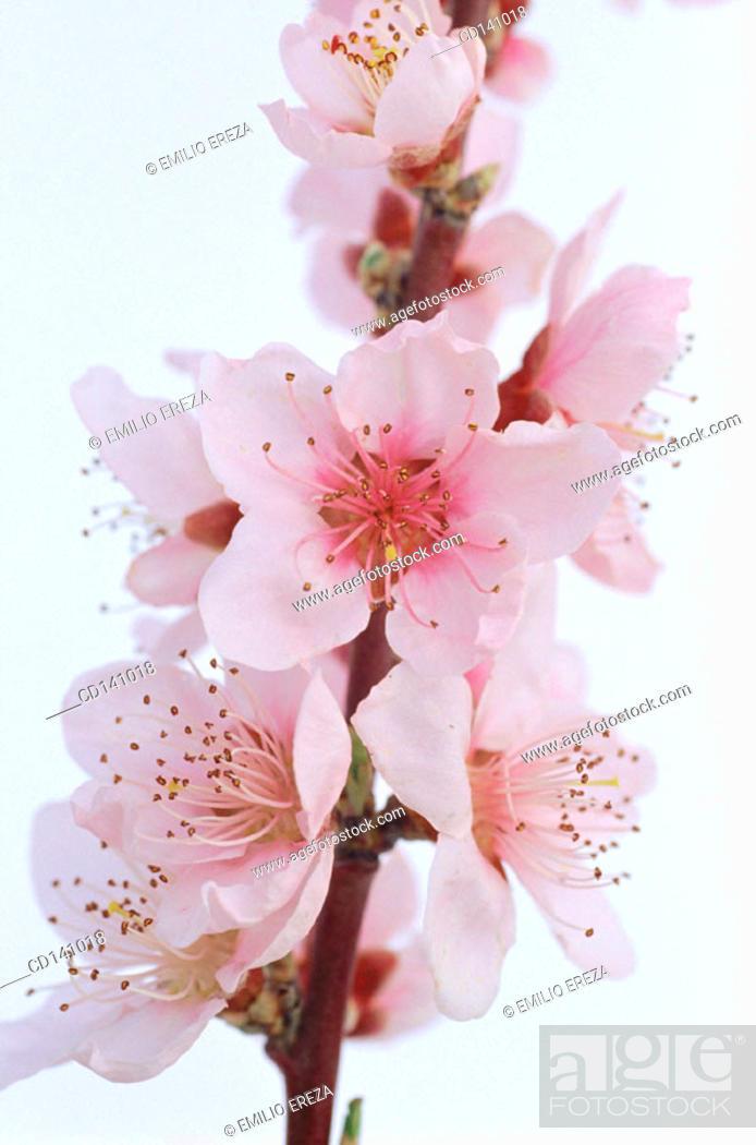 Stock Photo: Purple Cherry Plum (Prunus pissardii).