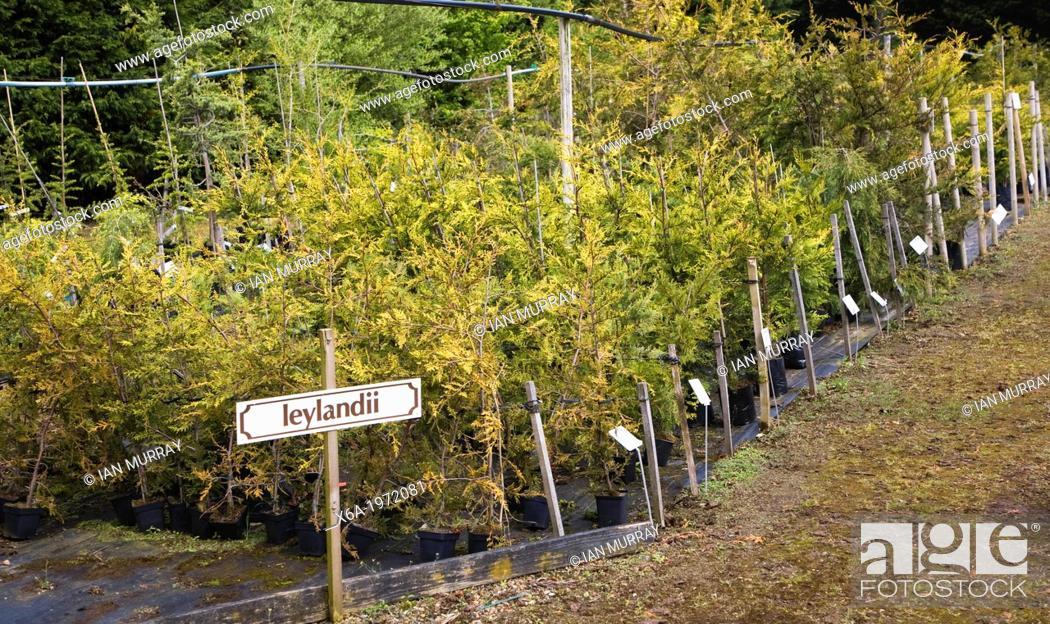 Stock Photo: Leylandii plants on sale at Swanns nursery garden centre, Bromeswell, Suffolk, England.