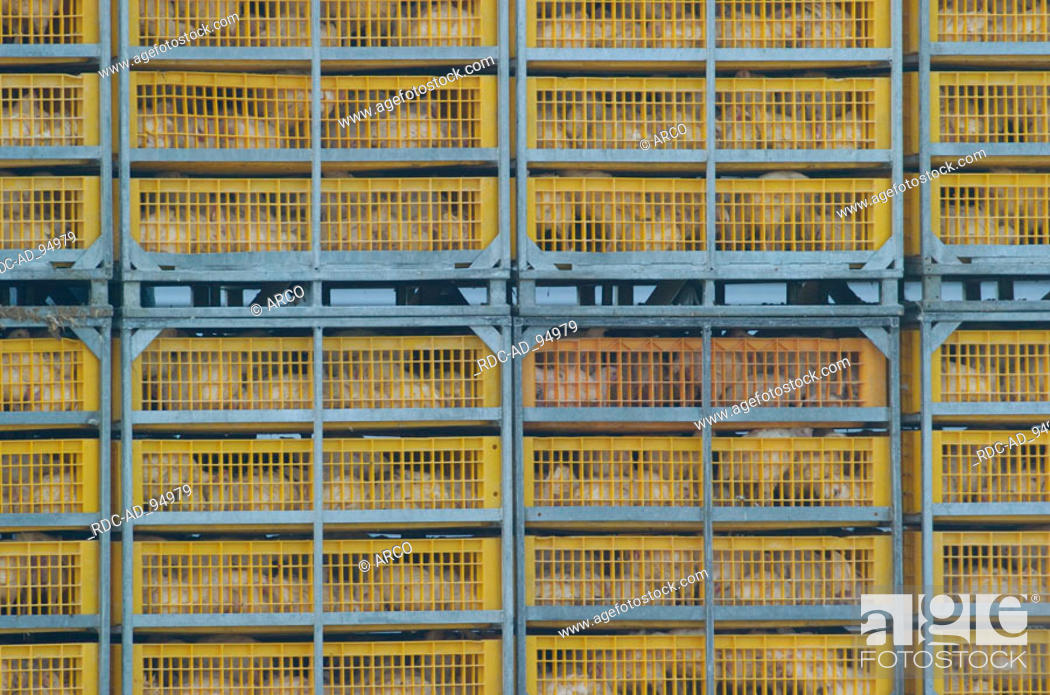 Stock Photo: Chickens in cages Hessen Germany.