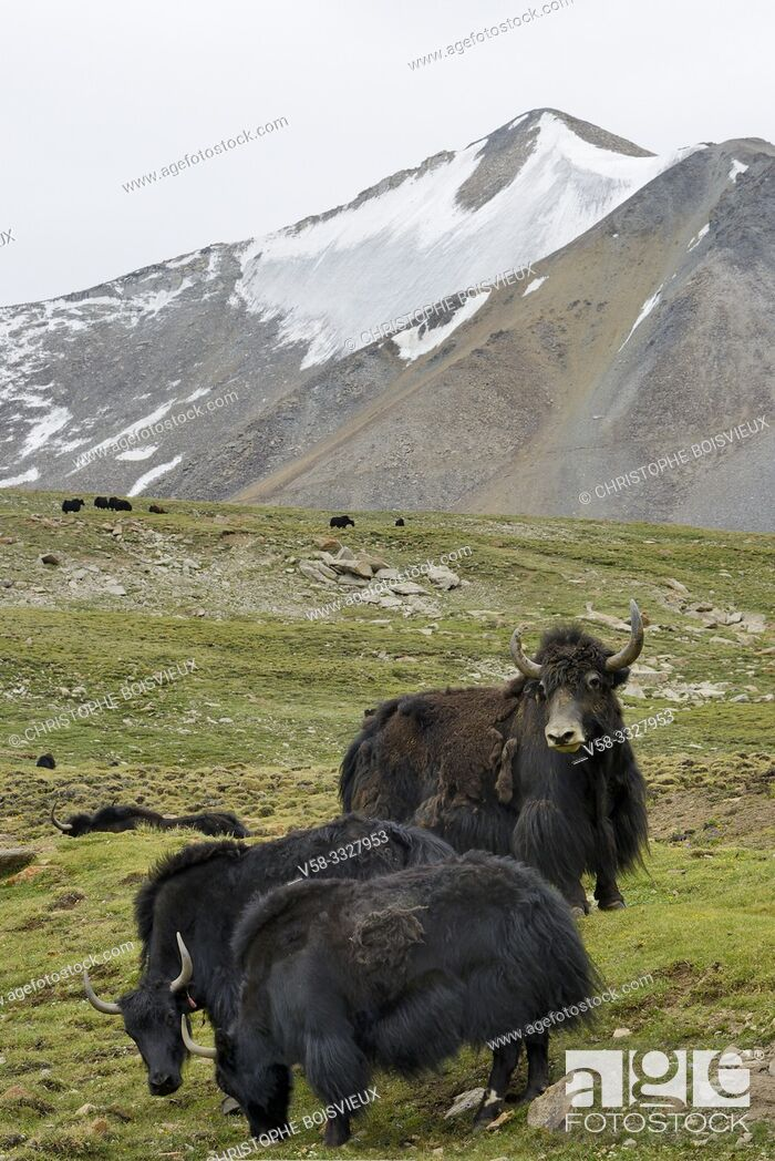 Stock Photo: India, Jammu & Kashmir, Ladakh, Wari La pass (5245 m), Yaks.