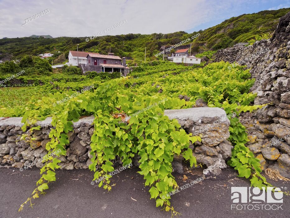 Imagen: Vineyard on Pico Island, Azores, Portugal.