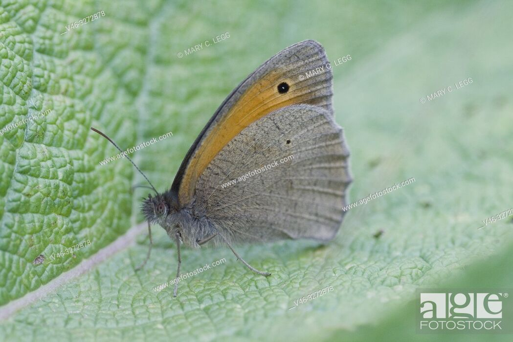 Stock Photo: Meadow Brown, Maniola jurtina. Large chestnut butterfly with eyespots found in pasture land, meadows and grassy parks with tall grass.