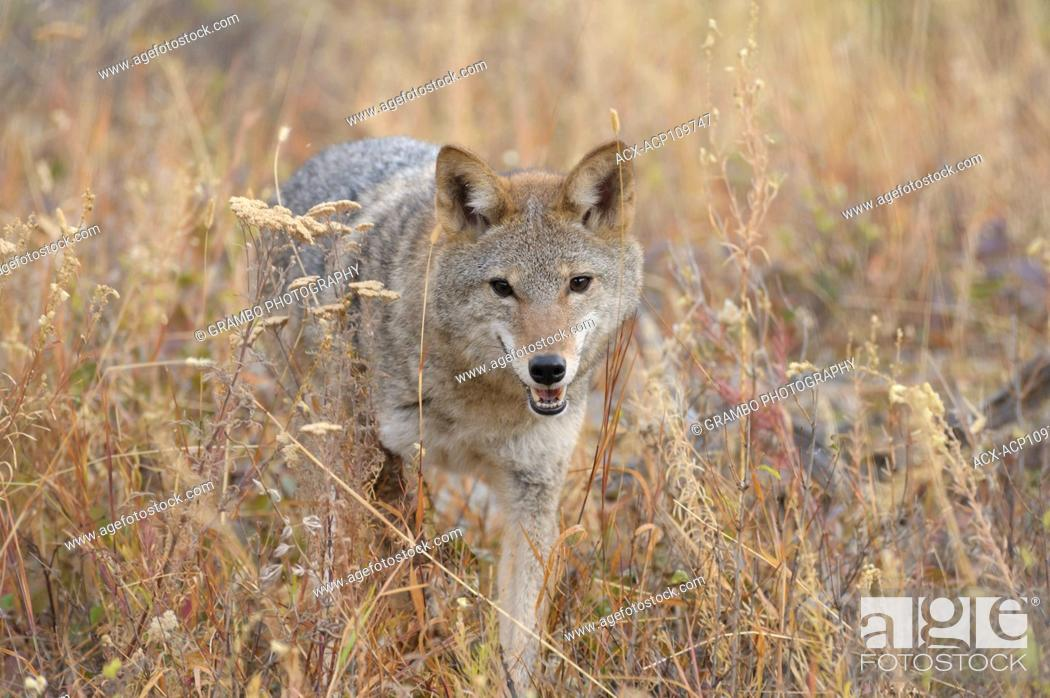 Stock Photo: Coyote, Canis latrans, on foothills slope in autumn, Montana, USA.