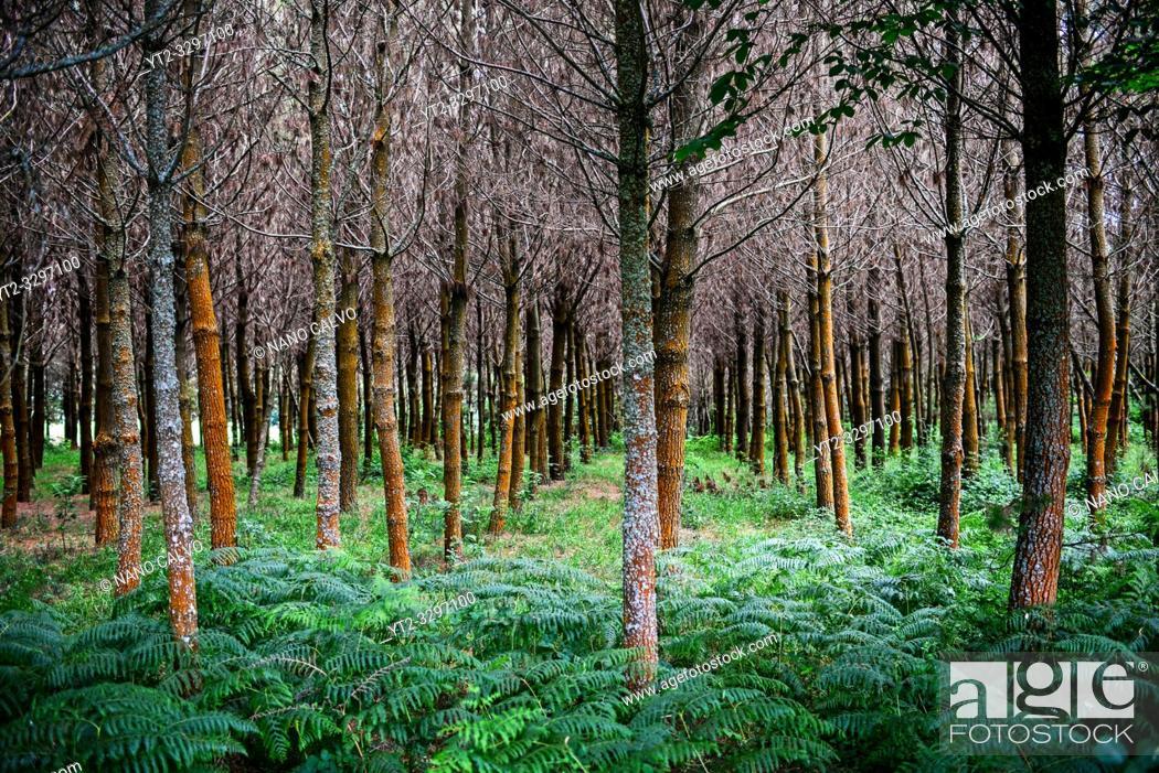Stock Photo: Beautiful forests along the Way of Saint James (Camino de Santiago), Galicia, Spain.