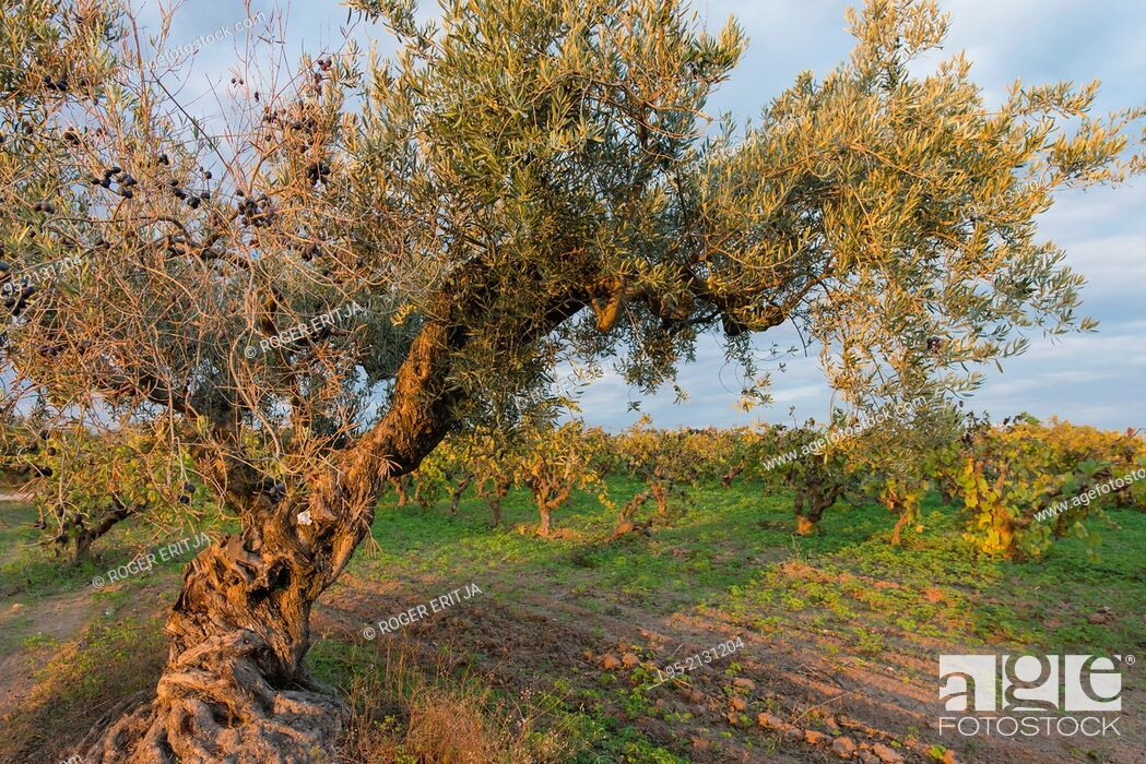 Stock Photo: Olive trees scattered between vineyards in the Penedes qualified wine region, Spain.
