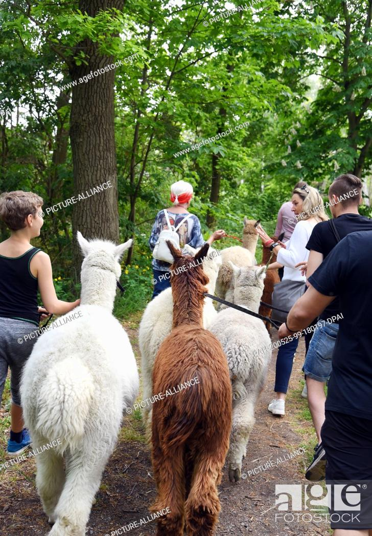 Stock Photo: 09 May 2020, Saxony, Kahnsdorf: A first hike this year with the alpacas of Diana Gröhmann from the Alpaca-Shop Leipziger Land can be enjoyed by a family from.