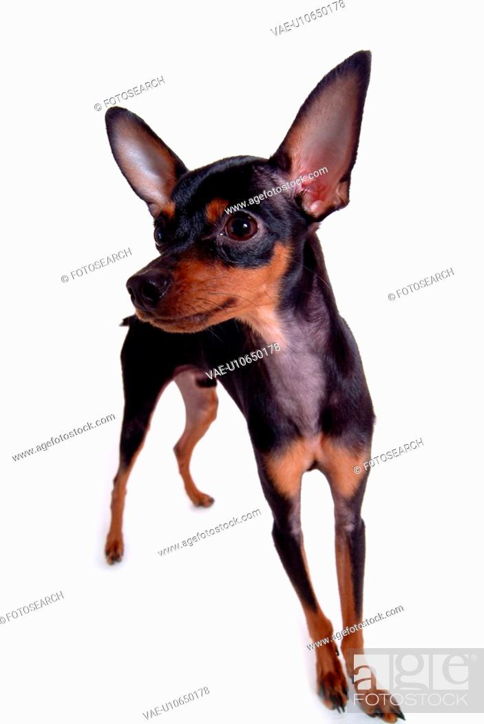 Stock Photo: canine, standing, miniature pinscher, domestic dog, domestic animal.