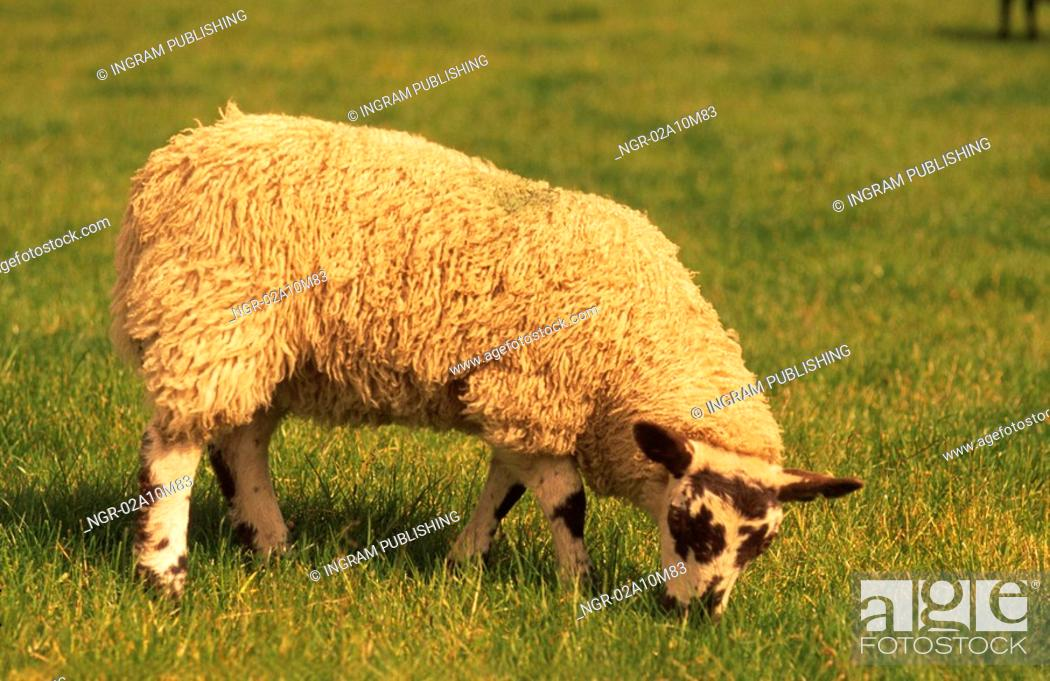 Stock Photo: Sheep in Yorkshire.